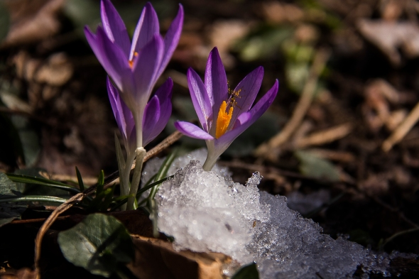 crocus in snow patch