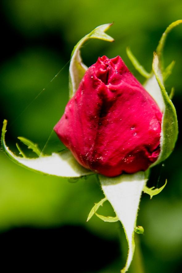rosebud_2013_05_26_1
