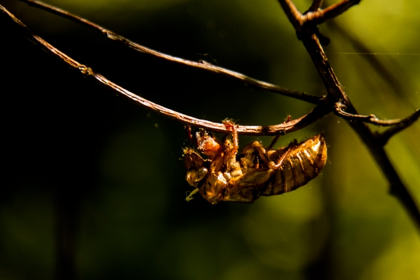 17 year cicada emerging larva