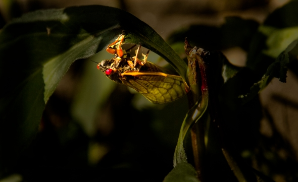 17 year cicada mature