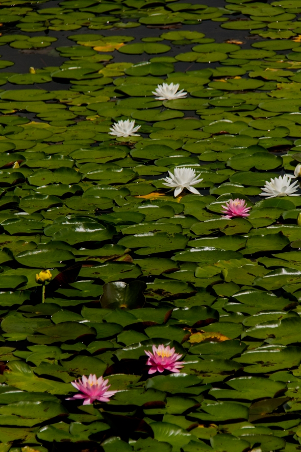 water lilies Ramapo Lake