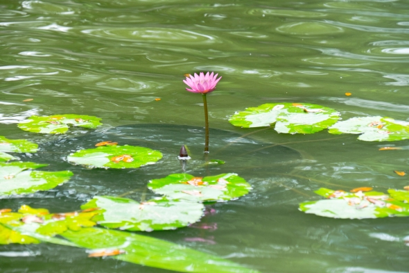 Water lily Houston Texas Zoo061215_40
